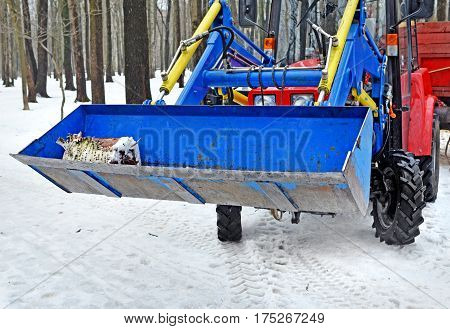 Blue ladle of hinged loader of the tractor with a birch log inside in wood orpark in winter