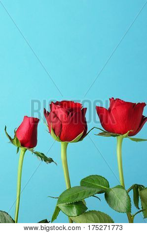 Three individual red roses lined up in an upright row against a light bright blue background.