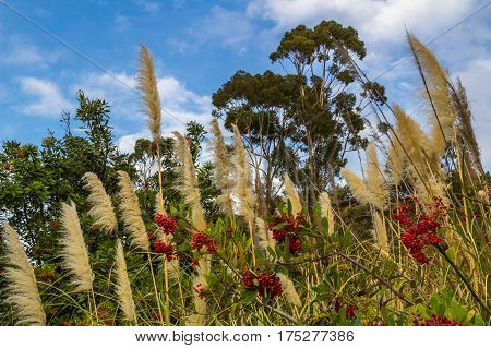 Pampas grasses blowing in the breeze on hillside with trees, berries and blue sky