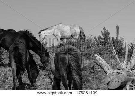 Black and white image wild horses in forestry Whalers Road Ninety Mile Beach Northland New Zealand
