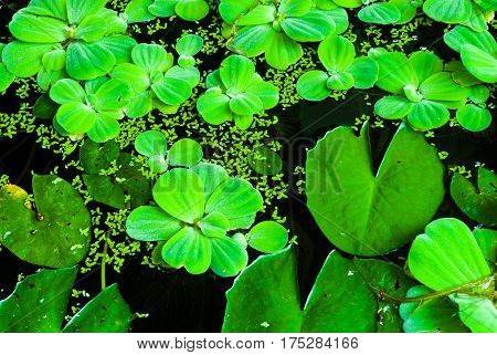 Closeup To Floating Bright Green Duckweed And Lotus Leaves On Water Surface