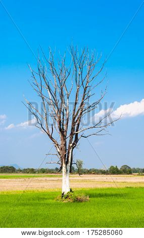 Leafless Big Tree On Center Of Green Rice Field