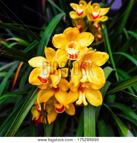 The Cymbidium insigne orchid in the garden