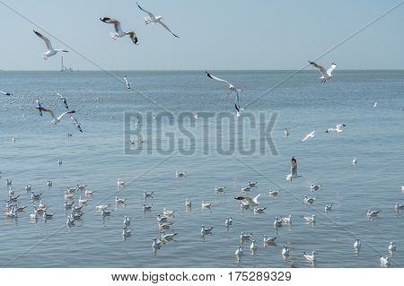 Flying Seagulls With Clear Sky At Mangrove Forest , Bang Pu, Samut Prakan, Thailand