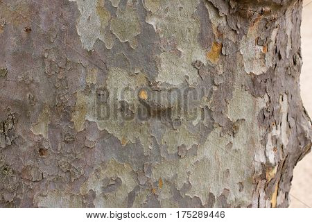 Color bark of sycamore tree. Background green military platanus wood detail