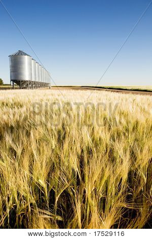 A wheat field in focus with grain bins in slightly out of focus in the background.