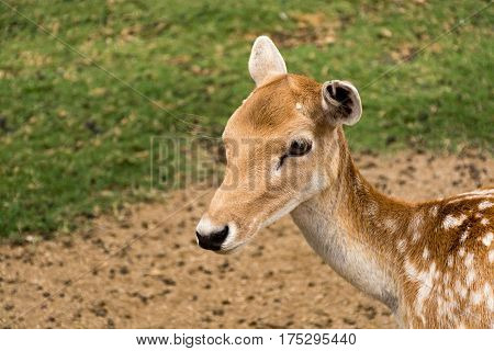 Doe Eyed Fawn Young Deer In Green Grass