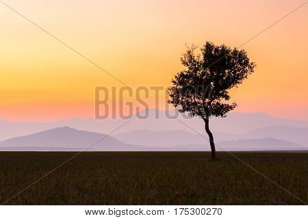 Lonely Tree On The Field  At Sunrise