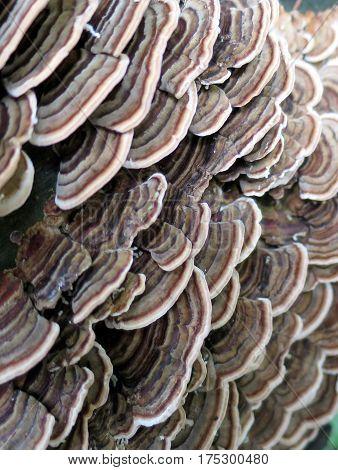 Close Up of Turkey Tail Mushrooms on a Log