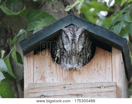 An Eastern Screech-Owl Peeking out from a Birdhouse