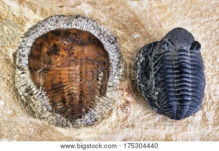 Cambrian period trilobites around 480 million years old.