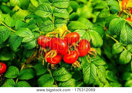 Red Rose Hips and the Green Leaves of a Rose Bush