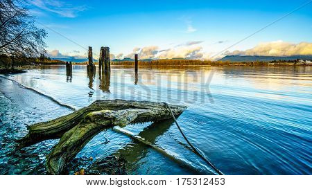 The Fraser River with its many Pilings to fasten Log Booms and dead tree stumps that have fallen into the river on a clear winter day