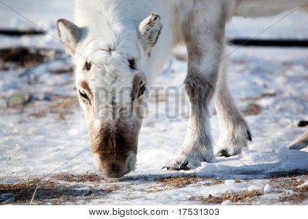 A wild reindeer on the island of Spitsbergen, Svalbard, Norway poster