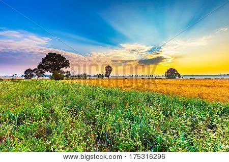 Summer Morning Landscape On Buckwheat Field With Weeds