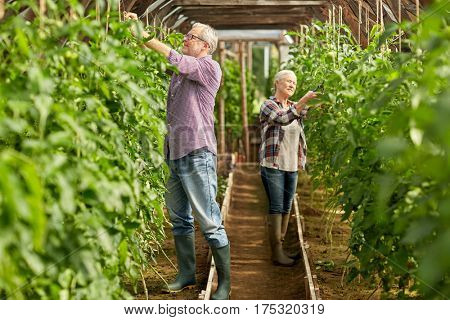 farming, gardening, old age and people concept - senior man and woman tying up tomatoe seedlings and working at greenhouse on farm