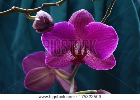 flower purple Orchid Phalaenopsis on the emerald-veined material