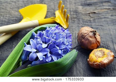 Blue Hyacinth,gardening tools and Gladioli bulbs on old wooden table.Hyacinth spring flower.Spring gardening concept.Selective focus.