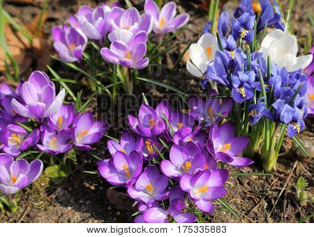 Beautiful crocus and Iris pumila flowers in the spring time.