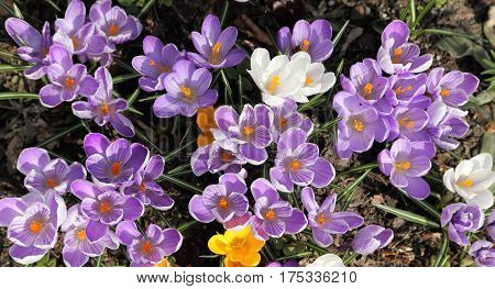 Colorful crocuses bloom in early spring. Nature.