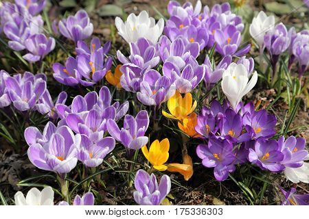 Beautiful crocus flowers in the spring time.
