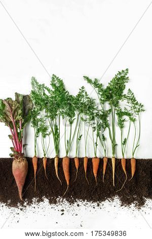 Beetroot and carrot grow in ground, cross section, cutout collage. Healthy vegetable plant with leaves isolated on white background. Agricultural, botany and farming concept