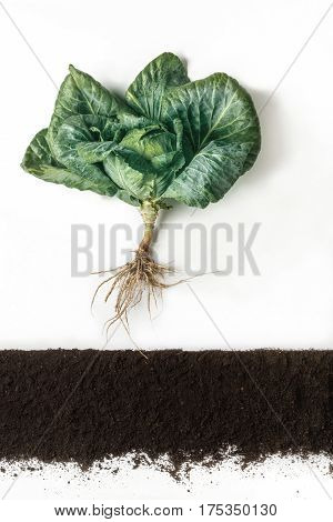 Cabbage grow above ground, cross section of soil, cutout collage. Growing plant with leaves and root system isolated on white background. Agricultural, botany and farming concept