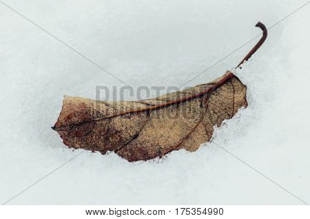 Autumn leaf fallen from the tree thawed in the spring
