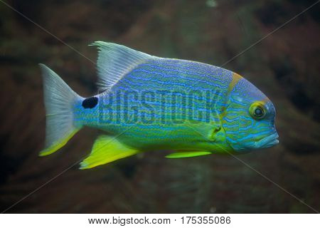 Sailfin snapper (Symphorichthys spilurus), also known as the blue-lined sea bream.