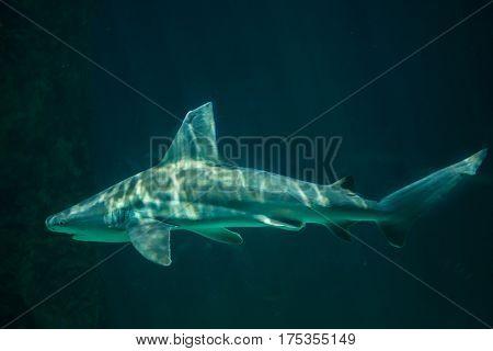 Sandbar shark (Carcharhinus plumbeus). Marine fish.