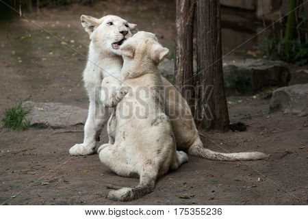 Two newborn white lion cubs. The white lions are a colour mutation of the Transvaal lion (Panthera leo krugeri), also known as the Southeast African or Kalahari lion. poster