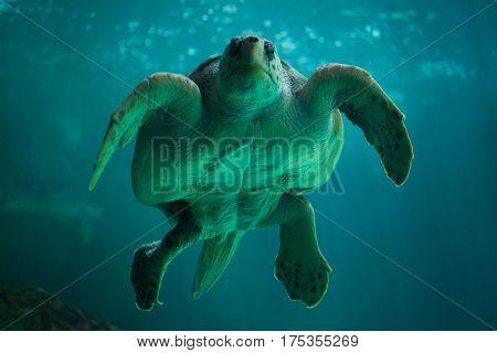 Loggerhead sea turtle (Caretta caretta), also known as the loggerhead.