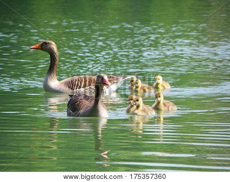 Brown Parent Ducks and Baby ducks on the Lake Leopoldskroner Weiher, Salzburg, Austria