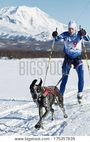 Skijor Races On Background Of Kozelsky Volcano In Kamchatka