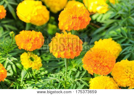 marigold yellow-orange flower blooming beautiful in garden (Tagetes erecta Mexican marigold Aztec marigold African marigold)