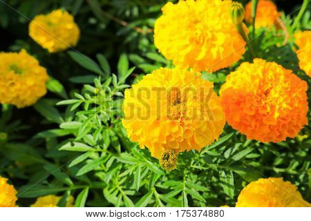 marigold yellow-orange flower blooming beautiful in garden   (Tagetes erecta, Mexican marigold, Aztec marigold, African marigold)