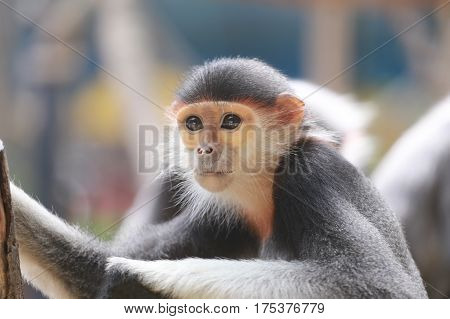 This is a macaque of Asiaconcept of endangered species.