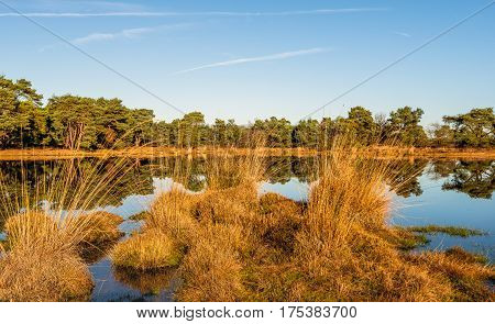 Row of clumps of bulrush plants reflecting in the mirror-smooth surface of a fen in a Dutch nature on a sunny day in the fall season.