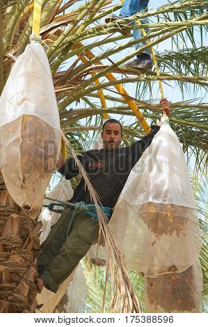 EL GOULA, TUNISIA - DECEMBER 01, 2011: Unidentified man harvests dades in El Goula, Tunisia.