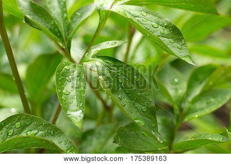 Rain drops on green leaves growing in the garden plants