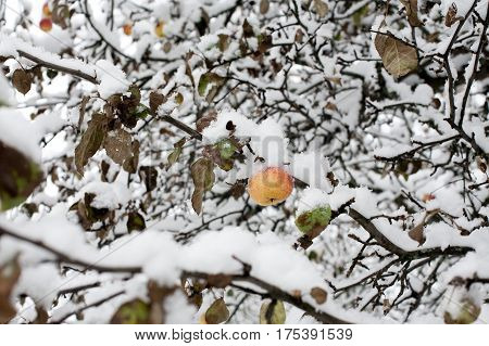 one yellow-red apple under white snow on black tree branch