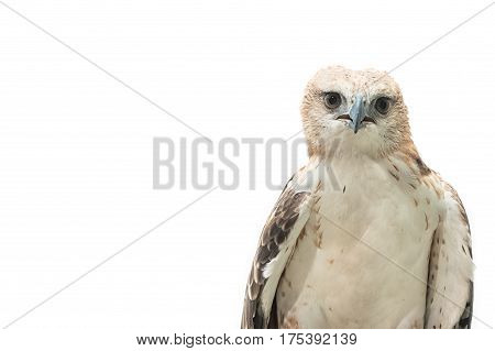 Portrait Of Beauty Hawk,changeable Hawk Eagle (nisaetus Limnaeetus)