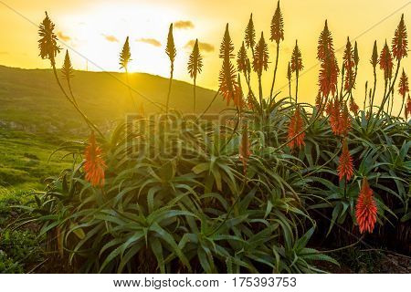 Aloe vera flower blooming near the ocean at sunrise on the island of Madeira.