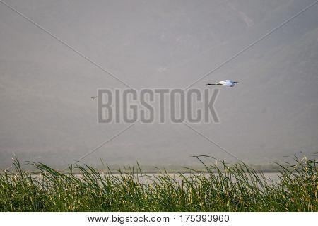 Flying Bird Over Reeds Of Jipe Lake, Kenya