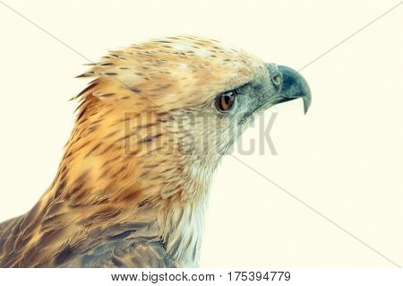 Changeable Hawk Eagle (Nisaetus limnaeetus) on white