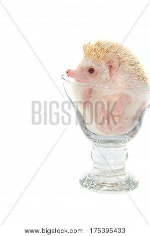 Hedgehog in the glass, African pygmy hedgehog