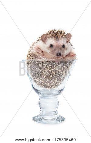 Hedgehog in the glass African pygmy hedgehog