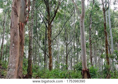 Trees In Brazilian Forest