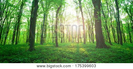 Sunlight in the green forest  spring time. Forest with sunlight shining through trees.