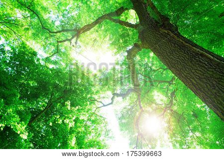 Forest trees. Sun and leaves